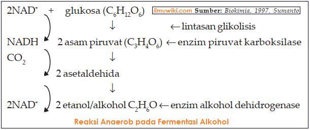 gambar reaksi anaerob pada alkohol