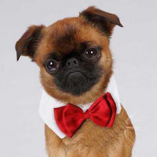 Truco vestir perro elegante