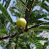 medicinal uses of amla plant in points