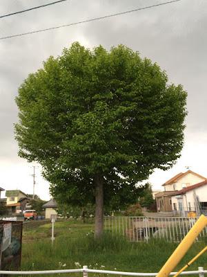 もっさりと多くの葉をつけたこぶしの木