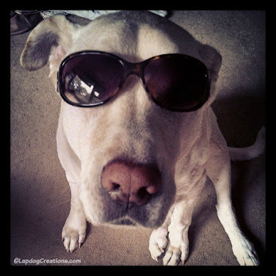 Zeus, the ultimate ham, sporting Mama's shades! #NationalSunglassesDay #CanineCancerAwareness ©LapdogCreations