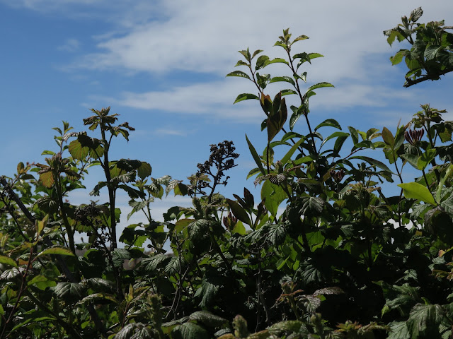 Dead blackberries, new bramble leaves and new honeysuckle against a blue sky with a mass of brambles beneath