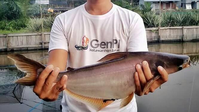 Umpan Alami Ikan Patin Di Kolam Hobi Mancing