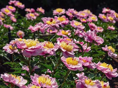 Shakuyaku (Paeonia lactiflora) flowers: Ofuna Botanical Garden (Kamakura)