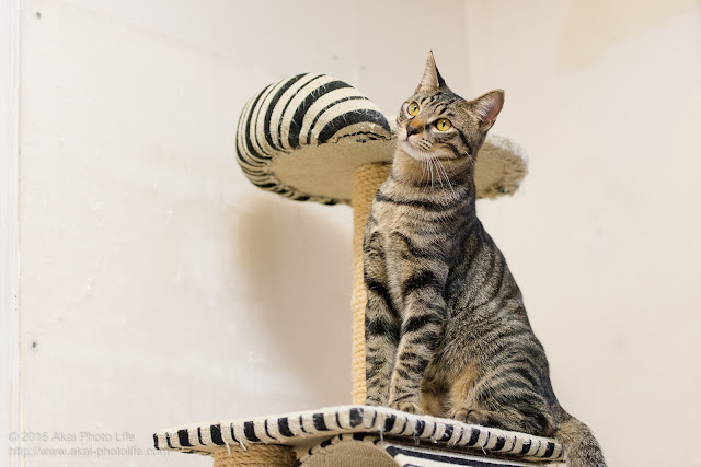 猫カフェ西国分寺シェルターにいた警戒心が強いキジトラが紐で遊ばなかった時の写真