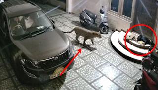 Video Detik-detik Macan Tutul Mangsa Anjing yang Sedang Tidur