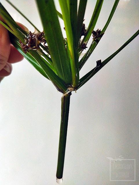 Jak wygląda papirus, cibora, Cyperus, i  jak go ukorzenić, rozmnożyć, rozmnażanie papirusów w wodzie, jak długo ukorzenia się papirusy, rośliny domowe