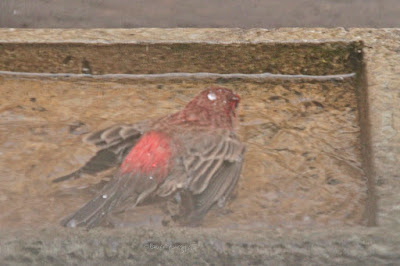 """This image features a male House finch in a cement bird bath that is on my garden floor. He is lying on his breast with his back to us and he is his wings. are lying  still at either side of his body. House finches are featured in volume one of my book series, """"Words In Our Beak.""""  Info re these books is in another post on my blog @ https://www.thelastleafgardener.com/2018/10/one-sheet-book-series-info.html"""