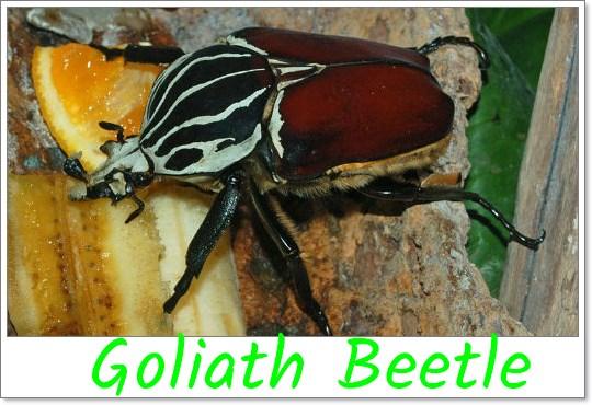 Goliath_Beetle