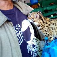 Cara Merawat Macan Rembah Atau Kucing Hutan