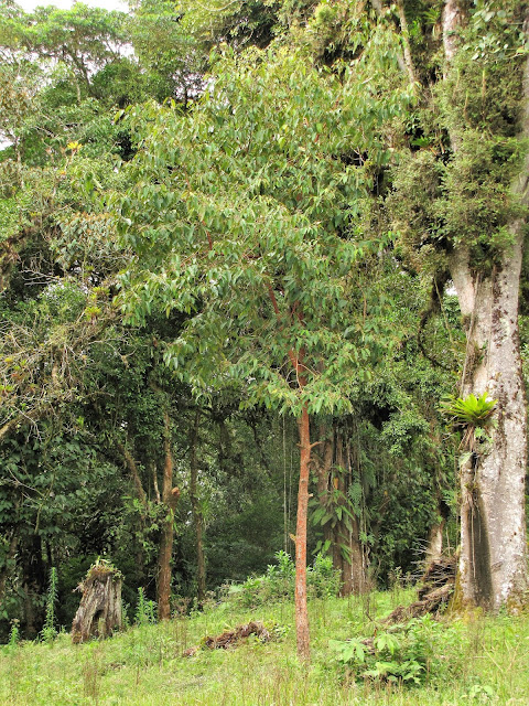 hippericaceae vismia ferroginea tree costa rica