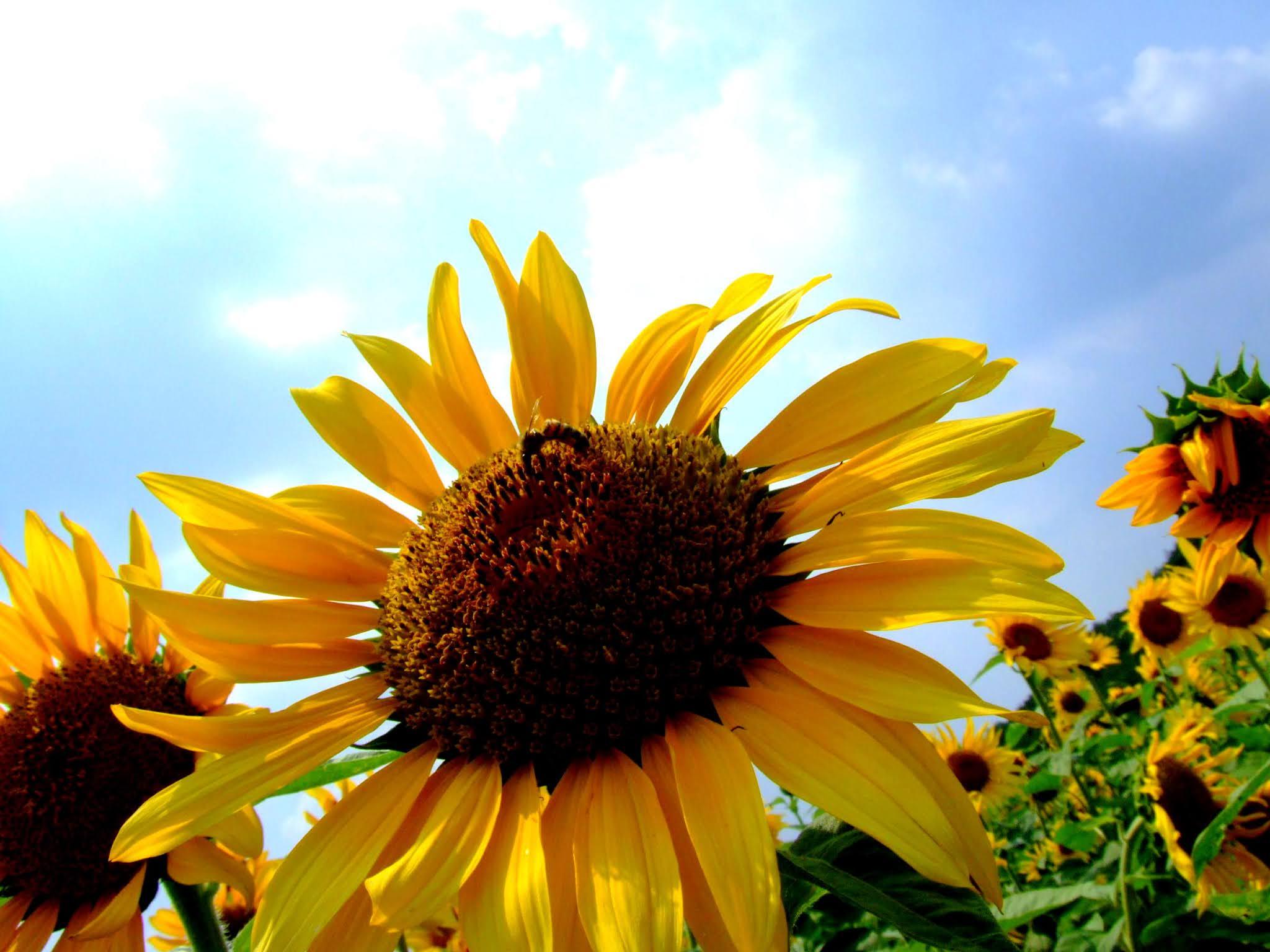 青空 黄色い向日葵(ヒマワリ)ひまわり 写真素材