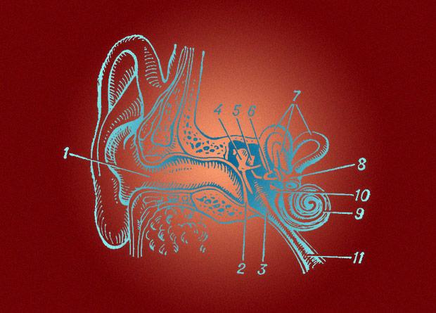 Схема внутреннего устройства уха