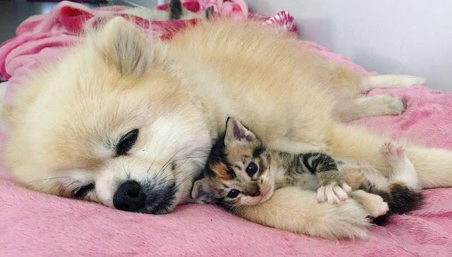 Без тебя я никуда: трогательная дружба котенка и домашнего песика