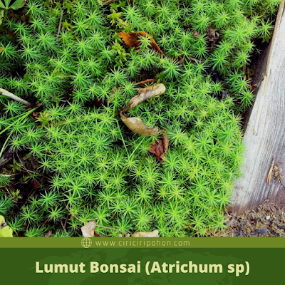 Lumut Bonsai (Atrichum sp)