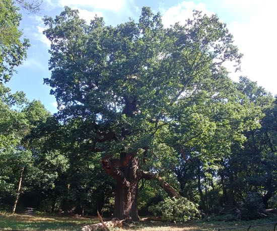 Photograph of The largest clear-stemmed oak in the country - thought to be between 450 and 500 years old Image by Hertfordshire Walker released under Creative Commons BY-NC-SA 4.0