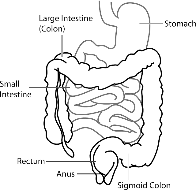 Digestive System of a Human