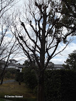 Dawn redwood - Shosei-en Garden, Kyoto, Japan