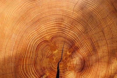 Pohon Ulin ( Pohon Paling Dicari di Indonesia )