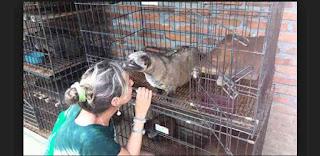 Proses pengolahan Kopi luwak