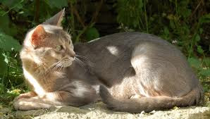 Encyclopedia of Cats Breed: Lilac Abyssinian Cat