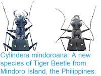 https://sciencythoughts.blogspot.com/2018/12/cylindera-mindoroana-new-species-of.html