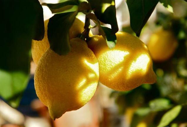 Αργολίδα: Μείωση 35% της παραγωγής λεμονιών Iντερντονάτο