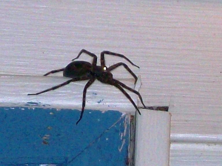 Indsendte Pics - Wolf Spiders Michigan Spiders-2069