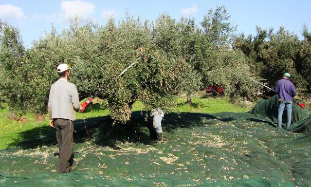 Μάζεμα ελιάς: Ποια έντυπα χρειάζονται για μετακίνηση εκτός νομού