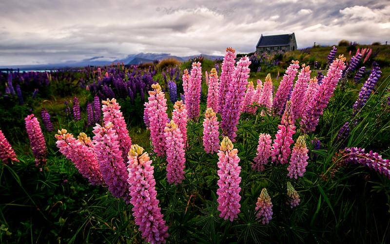 lupin fields, new zealand flower fields, lake tekapo lupins, lupins lake tekapo, lupin lake tekapo, lupin flower new zealand, lupine fields new zealand, lake tekapo flowers, lupin flowers new zealand, lupins in new zealand, wild lupins new zealand, lake tekapo new zealand flowers, new zealand flower, flower in new zealand, field of lupines, the lupins,