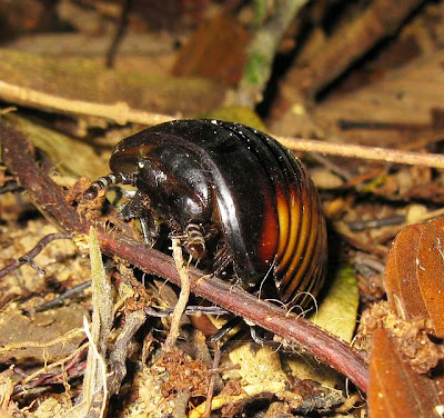 a giant pill millipede