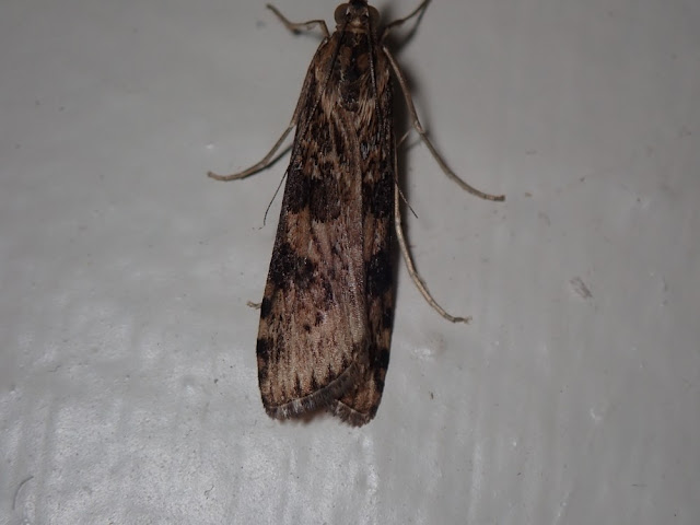 Nomophila nearctica