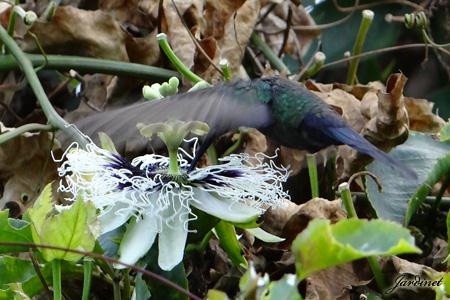 Beija-flor tesoura na flor da paixão