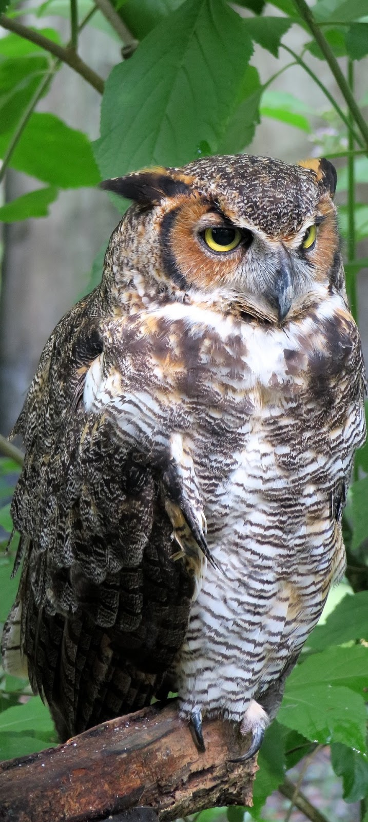 Portrait photo of an owl.
