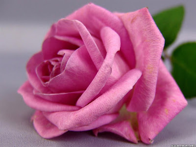 Pink rose flower wallpaper flower design huge variety of wallpapers are available which goes with different mood and different occasion like nature celebrity festival emotional love etc flower mightylinksfo