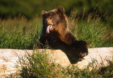 Cute Funny Puppies Wallpapers Funny Grizzly Bear Funny Animal