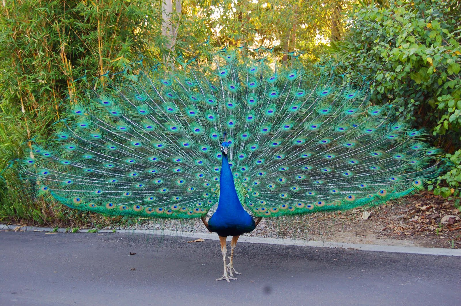 indian peafowl photos and - photo #36