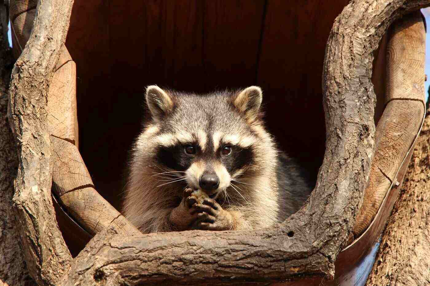raccoon in hollow log - how to protect your farm dog from other animals