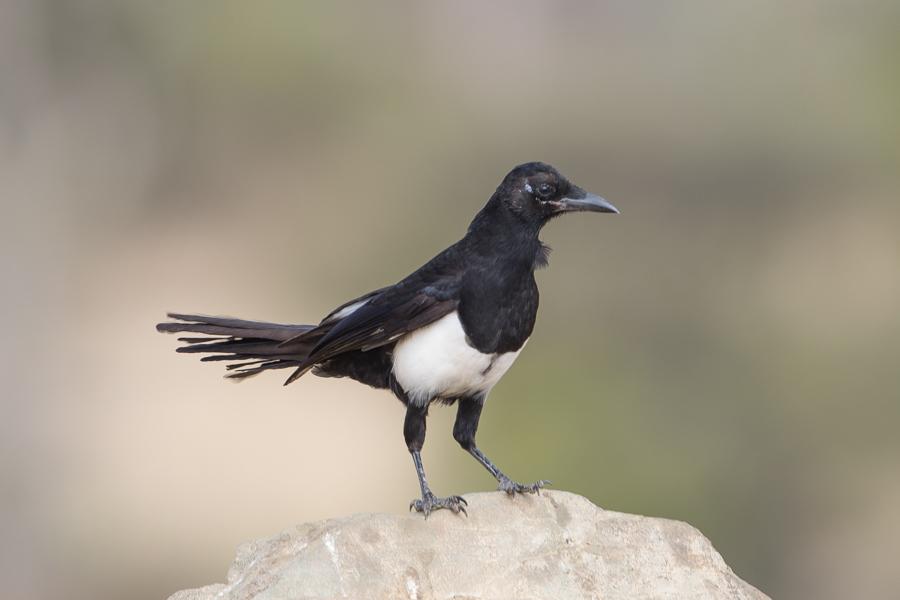 Arabian Magpie