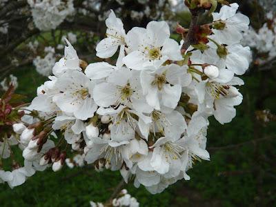 Weiße Blüten vom Baum in der Merheimer Aue