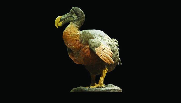 Burung Dodo / Dodo Bird