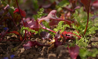 Beetroot and love in the mist