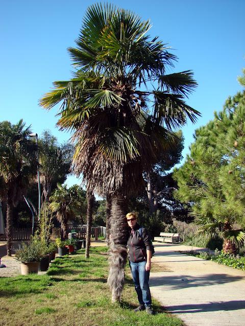 Jedna z wielu palm Barcelony