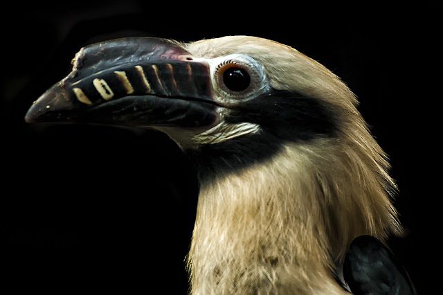 Philippines Scrambles to Protect its Endangered Hornbills From Extinction