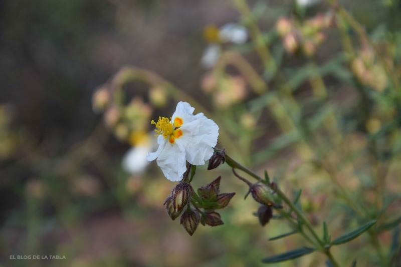 Helianthemum spp.