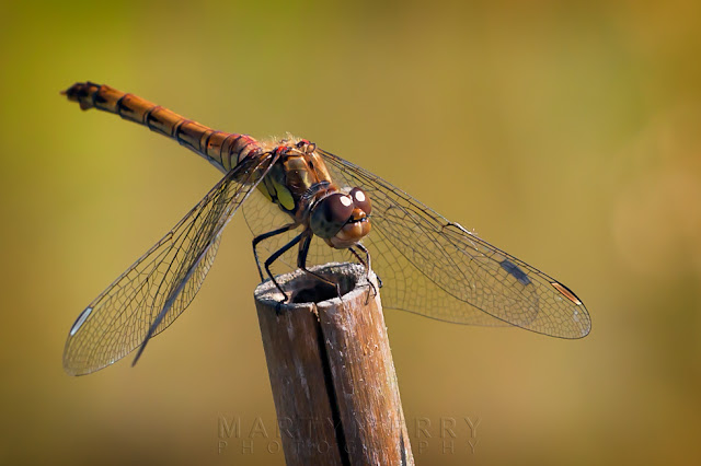 At rest in the nature reserve at Ouse Fen a female common darter dragonfly