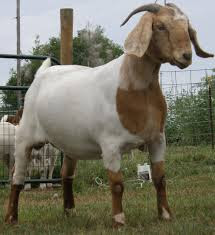 https://www.goatfarming.ooo/2018/08/indian-goat-fattening-techniques.html