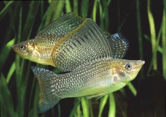 Ciri ciri ikan molly