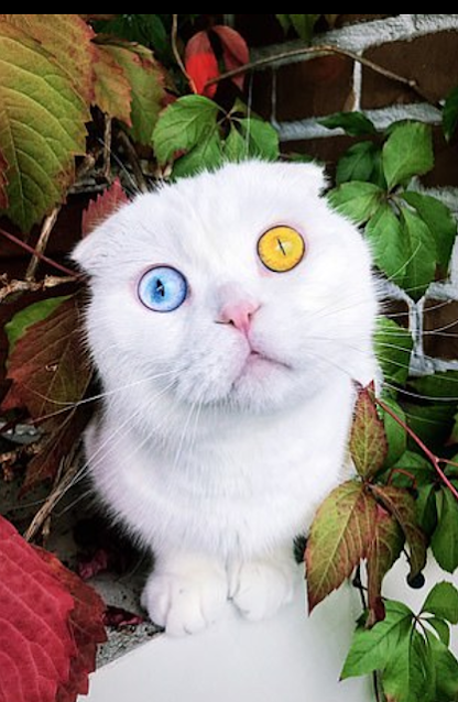 See The Beautiful White Cat With 2 Different Coloured Eyes