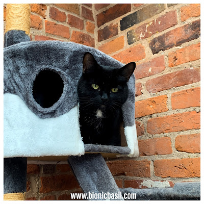 Black Cat Appreciation Day 2020 with Parsley Sauce ©BionicBasil® Condo Cat